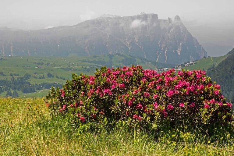 Almrosen Wanderung in Tirol